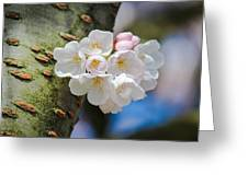Sprouting Cherry Blossoms Greeting Card