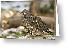 Spruce Grouse In The Snow Greeting Card