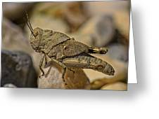 Spur-throated Grasshopper Greeting Card