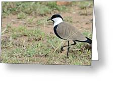 Spur-winged Lapwing Greeting Card