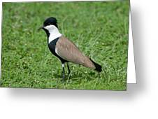 Spur-winged Plover Greeting Card