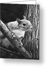 Squirrel Black And White Greeting Card