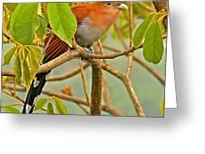 Squirrel Cuckoo In Costa Rica Greeting Card