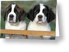 St. Bernard Puppies Greeting Card