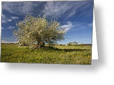 St Lucie Cherry (prunus Mahaleb) Greeting Card