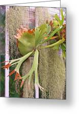 Staghorn Fern Greeting Card