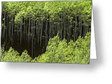 Stand Of Birch Trees New Growth Spring Rich Green Leaves Greeting Card