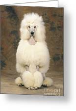 Standard Poodle Dog Greeting Card