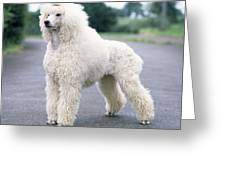 Standard Poodle Dog, Unclipped Greeting Card