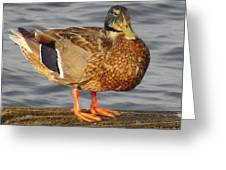 Standing Female Mallard Duck Greeting Card