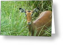 Standing In The Grass Impala Antelope  Greeting Card