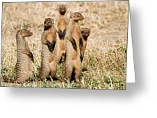 Standing Mongoose Greeting Card