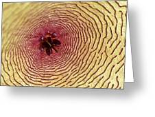 Stapelia Grandiflora - Close Up Greeting Card