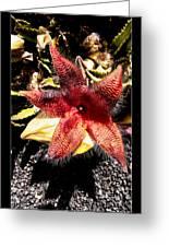 Stapelia Grandiflora Starfish Cactus Greeting Card