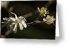 Star Magnolia Blossoms Greeting Card