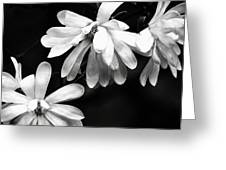 Star Magnolia In Black And White Greeting Card