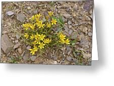 Star-of-bethlehem (gagea Peduncularis) Greeting Card