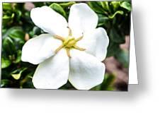 Starfish Gardenia  Greeting Card