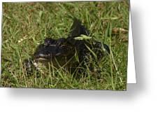 Staring Alligator. Melbourne Shores. Greeting Card