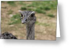 Staring Ostrich Greeting Card