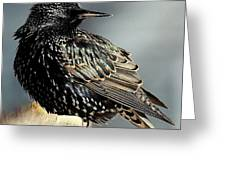 Starling Colors Greeting Card