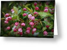 Apple Blossoms During A Rain Shower Greeting Card