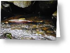 Steelhead Resting In The Shallows Greeting Card