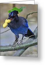 Stellar's Jay With Peanut Greeting Card