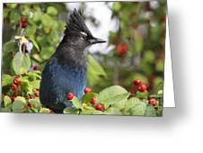 Steller's Jay And Red Berries Greeting Card
