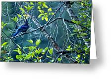 Steller's Jay In A Tree Greeting Card