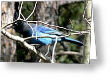 Steller's Jay - Peaking Through Branches Greeting Card