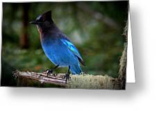 Steller's Jay Greeting Card