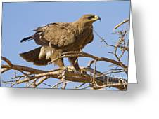 Steppe Eagle Aquila Nipalensis 2 Greeting Card