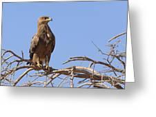 Steppe Eagle Aquila Nipalensis Greeting Card