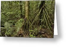 Stilt Roots In The Rainforest Ecuador Greeting Card