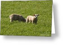 Stirling Sheep Greeting Card