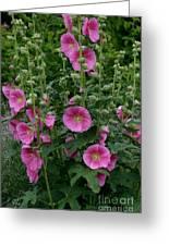 Stokrose Pink Greeting Card