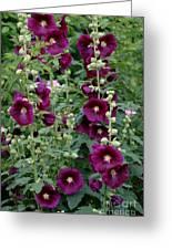 Stokrose Purple Greeting Card