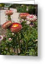 Straw Flowers Xerochrysum Bracteatum Greeting Card