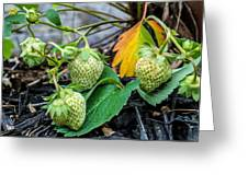 Strawberries - Soon To Be Picked Greeting Card