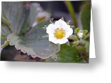 Strawberrys Flower Greeting Card