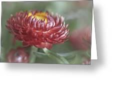 Strawflower Greeting Card