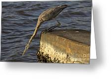 Stretch - Great Blue Heron Greeting Card