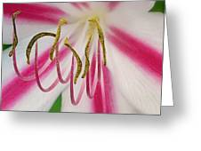 Striped Crinium Greeting Card