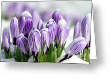 Striped Purple Crocuses In The Snow Greeting Card