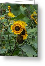 Striped Sunflower Greeting Card