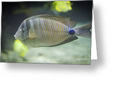 Striped Tropical Fish Desjardini Tang Greeting Card