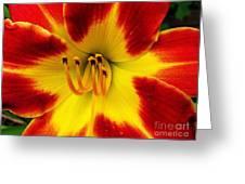 Stunning Daylily  Greeting Card