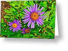 Subalpine Daisy By Vidae Falls In Crater Lake National Park-oregon  Greeting Card