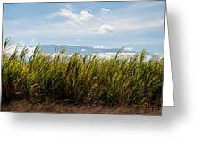 Sugar Cane Field - Maui Greeting Card